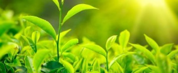 Ekstrakt z zielonej herbaty pomoże w walce z otyłością