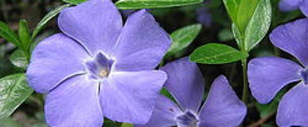 Barwinek pospolity – właściwości i zastosowanie