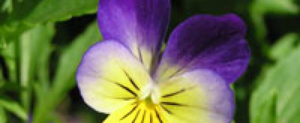 Fiołek trójbarwny – właściwości i zastosowanie