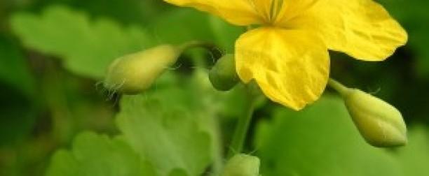Glistnik jaskółcze ziele – dar niebios