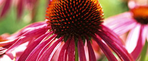 Jeżówka purpurowa – właściwości i zastosowanie