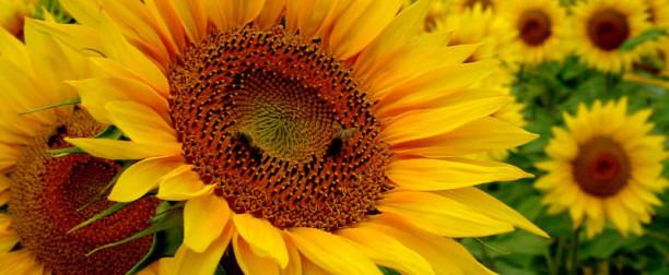 Słonecznik zwyczajny – właściwości i zastosowanie