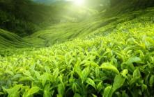 Zielona herbata – właściwości i zastosowanie