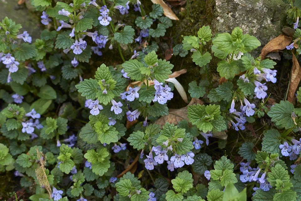 Bluszczyk kurdybanek - niepozorna roślinka o śmiesznej nazwie...
