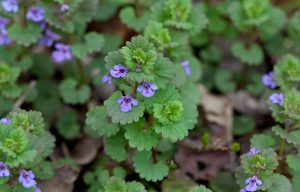 Bluszczyk kurdybanek – niepozorna roślinka o śmiesznej nazwie…